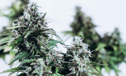 Terpenos da cannabis proporcionam alívio da dor em 'efeito Entourage'  diz novo Estudo